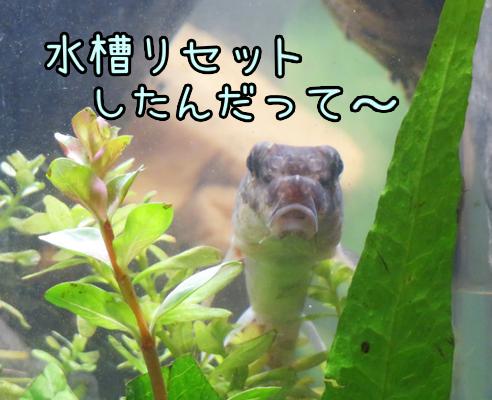 水槽リセット大作戦☆ 流木のカビにはご用心!!