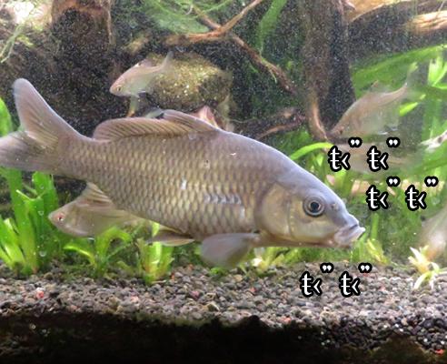 進撃の鯉(こい)ツェン