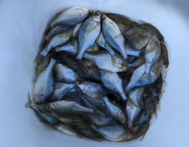 【釣果日誌】2021年7月第3週/茨城県稲敷市/爆釣オオタナゴ